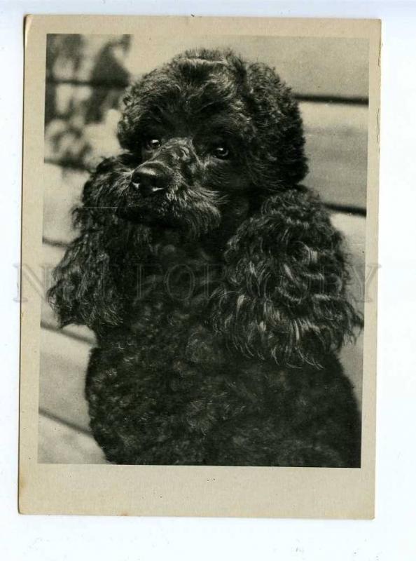 195801 GERMANY Charming POODLE vintage PHOTO postcard