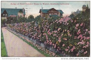 Hedge Of Pink Cherokee Roses In Winter Southern California 1920