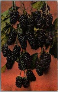 Vintage 1910s CALIFORNIA Greetings Postcard Mammoth Blackberries Mitchell