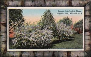 New York Rochester Japanese Crab Apple Tree In Bloom In Highland Park 1913