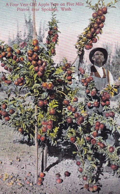 PRAIRIE, Washington, 1900-1910's; A Four Year Old Apple Tree