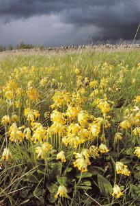 Cumbria Postcard, Eden Valley Cowslips Wild Flowers Z97