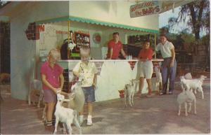 SILVER SPRINGS FL - TOMMY BARLETT'S DEER RANCH - 1950s LAMBS / CLOSED