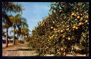 Palm Bordered Orange Groves,FL BIN