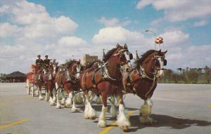 Budweiser Beer Clydesdale Horses , Busch Gardens , LOS ANGELES , California ,...