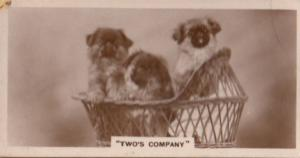 Dog Dogs Twos Company in Basket Old Real Photo Cigarette Card
