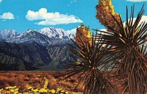 Postcard Springtime On The Desert Spanish Bayonet Enceilia Joshua Tree