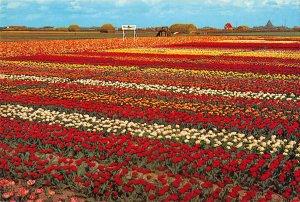 B109127 Netherlands Holland in Flowerdecoration Fleurs Blumen