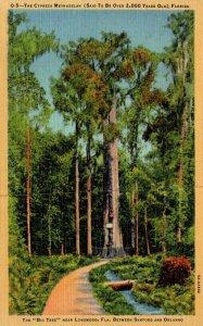 Florida Big Tree Park The Cypress Methuselah Over 2,000 Years Old Curteich