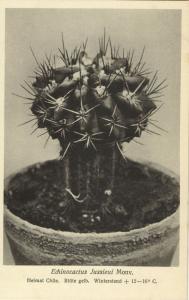 Cactus Cactaceae, Echinocactus Jussieui Monv. (1920s) Otto Stoye Postcard