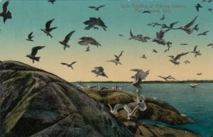 PARRY SOUND , Ontario , PU-1914 ; Gulls Feeding at Fishing Station
