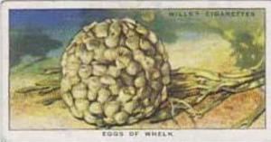 Wills Vintage Cigarette Card The Sea-Shore No 18 Eggs Of Whelk  1938