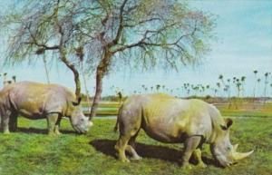 White Rhinocerus At Busch Gardens Tampa Florida