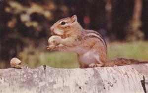 Busy Little Chipmunk loading up on Peanuts - pm 1966