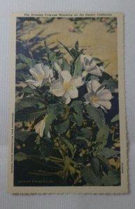 CALIF ~ The Evening Primrose Blooming on the Desert- Stephen H Willard Linen