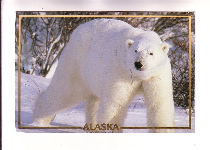 Polar Bear in Alaska, Photo Randy Brandon