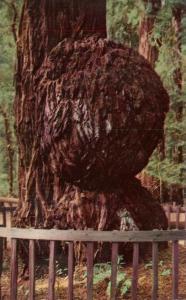 Giant Burl - Big Trees Park - Santa Cruz County CA, California