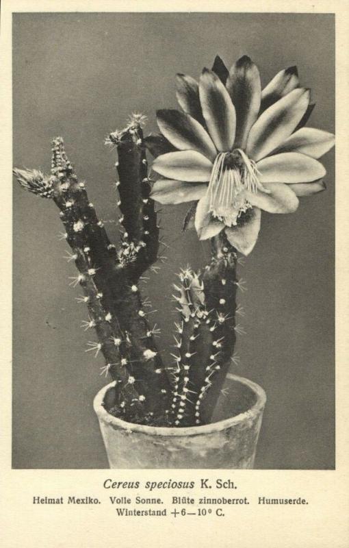 Cactus Cactaceae, Cereus Speciosus K. Schumann (1920s) Otto Stoye Postcard