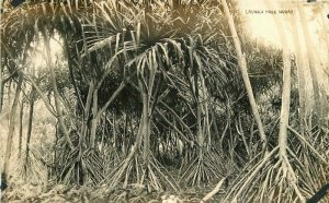 Hawaii Lauhala Tree 1920s RPPC Photo Postcard 20-5427