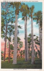 Florida Lake Wales Big Trees In The Mountain Lake Sanctuary