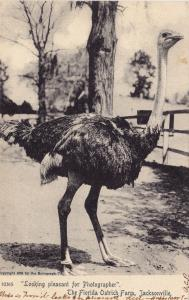 Looking pleasant for Photographer,The Florida Ostrich Farm, Jacksonville, 1905