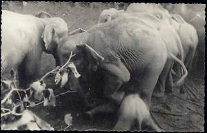 east pakistan BANGLADESH Elephant Khedda, Stockade Trap