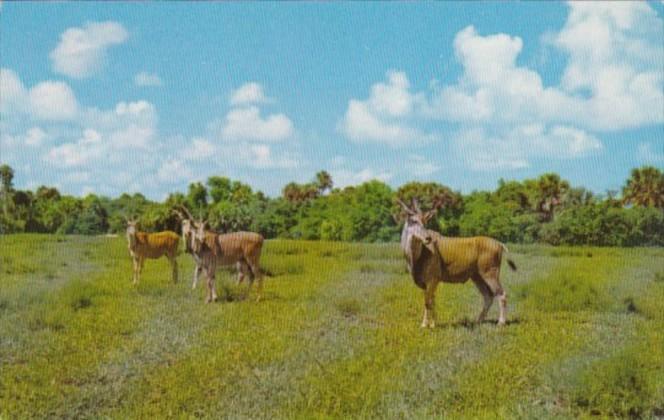 Giant African Eland At Africa- U S A Boca Raton Florida