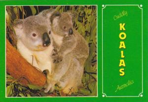 Mother Koala with baby on back, Australia, 40-60s