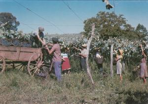 Grape Harvest , Brasil , 50-70s # 3