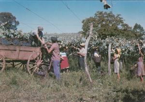 Grape Harvest , Brasil , 50-70s # 3