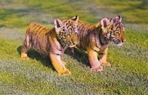 Pennsylvania Philadelphia Zoological Garden Siberian Tiger Cubs