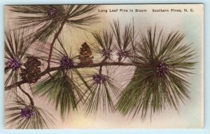 SOUTHERN PINES, North Carolina NC ~Handcolored LONG LEAF PINES in Bloom Postcard
