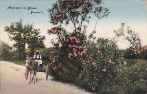 Riding A Mule Cart, Oleanders In Bloom, Bermuda, 1900-1910s