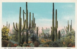 Giant Cacti (Sahuaro) on the Desert , USA , 1910s