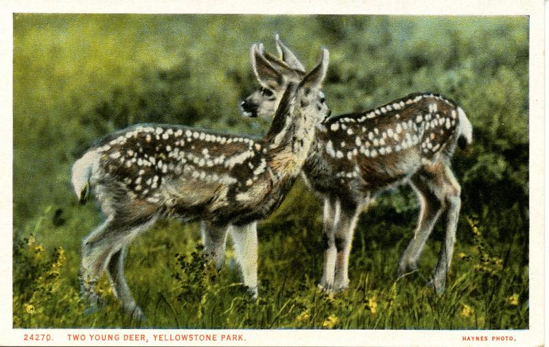 WY - Yellowstone National Park. Two Young Deer    (Haynes)