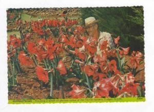Hippeastrums Flowers, Cudgen, N.S.W., Australia, 60s