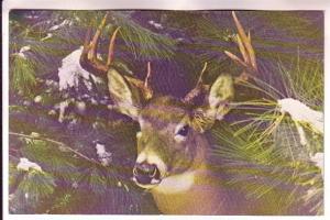 White-tail Deer, Maine, Photo D Walker