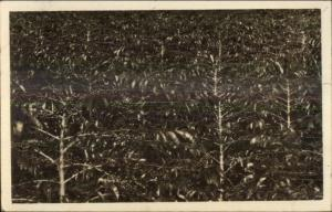 Coffee Bean Plants? Publ in Sumatra Indonesia c1915 Real Photo Postcard