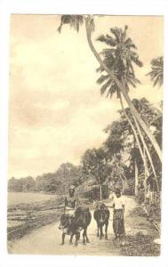 Bulls on Road, Ceylon, PU-1922