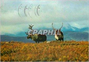 Postcard Modern Reindeer Norway