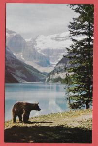 Black Bear Roamin' in the Floamin' at Lake Louise. Canadian Rockies