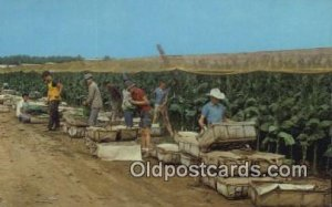 Picking Tobacco Farming Unused