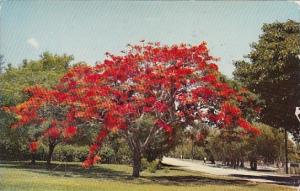 Royal Poinciana Delonix Regia Sarasota Florida 1962