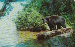 Black Bear Yearling Cub