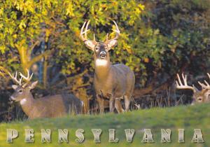 White Tail Deer In Pennsylvania