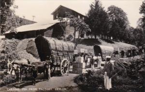 Sri Lanka Ceylon Ox Carts Carting Tea From Factory Real Photo