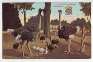 P1126 1914 used souvenir postcard ostrich family at farm jacksonville florida