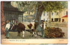 Corca De Bois, Cattle, Madeira, Portugal, 1900-1910s