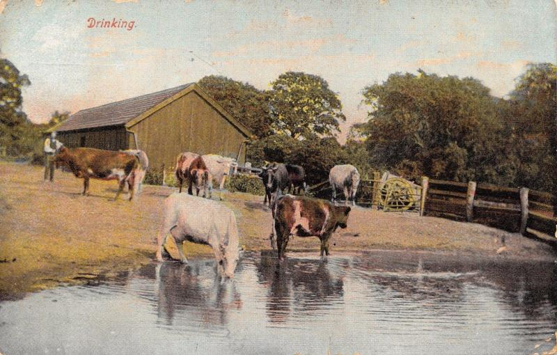 Vintage 1917 Postcard Cattle Cows Drinking #C