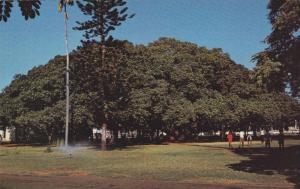 Famous Banyan Tree, Maui,Hawaii, 1940-1960s